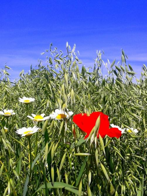Amapola en campo de flores Luciana